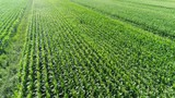 Aerial footage of maize field also known as corn is cereal grain that has become staple food in many parts of the world with the total production of maize surpassing that of wheat or rice 4k quality - 232564284
