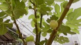 First fig fruits in a fig plantation - 232566423