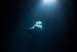 manta ray swimming torwards moonlight - 232570611