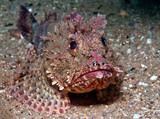 Scorpionfish - 232570804