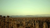 Track along a field of dead sunflowers with a mountain range in the background. - 232574470