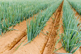 ねぎ,畑,農業 - 232575613
