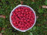 Raspberries in a bucket. Nature photography
