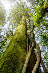 Hugh tree in a rain forest in Chiangmai, Thailand. Environment conservation concept.