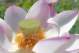 淡いピンクの蓮の花 - 232612818