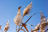 Reeds. Coastal vegetation against a blue sky. Autumn. - 232621611