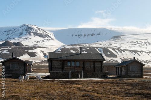 Renne, Longyearbyen, archipel du Spitzberg, Svalbard