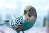 Male budgerigar on a table