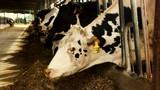 Cow chewing food on modern farm - 232636670
