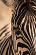 Cabeza de una cebra en Namibia, África.