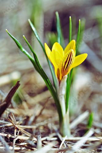Crocus chrysanthus var. fuscotinctus