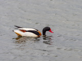 Shelduck on a lake - 232653866