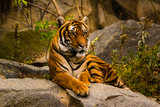 Tiger in a Zoo, Tiger,  zoo - 232672269