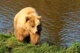 Braunbär (Ursus arctos) - 232673811