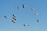 Group of flamingos in flight (Phoenicopterus ruber) on the blue sky background, in the Camargue is a natural region located south of Arles in France