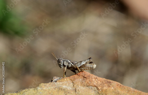 Foto Murales Italy, Tuscany, little grasshopper over a sunny stone