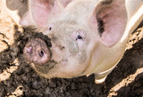 Pig looking at me from the mud - 232691877