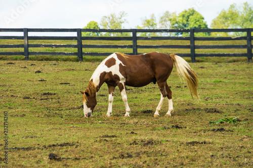 Horse Grazing w Lexington, Kentucky