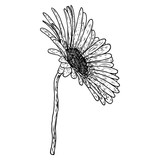 Open petals daisy head flower. Floral Botany drawings. Black and white line art. Vector. - 232715425