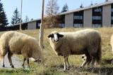 sheep in field - 232715492