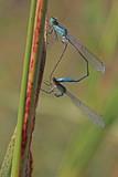 piccole libellule in accoppiamento (Ischnura elegans) - 232722287