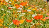 Mohnblumen Blumenwiese