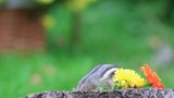 Adorable Chipmunk digs for seeds and gets paranoid, someone is watching - 232724699