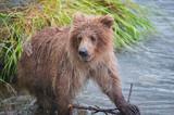 Wild brown bear, Alaska - 232727811