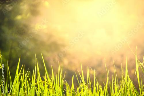 Leinwandbild Motiv Rice blade with morning light