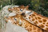 Deux girafes mangent au parc zoologique de Paris - 232745032