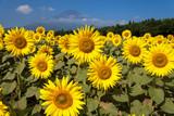 山梨県 花の都公園のヒマワリと富士山