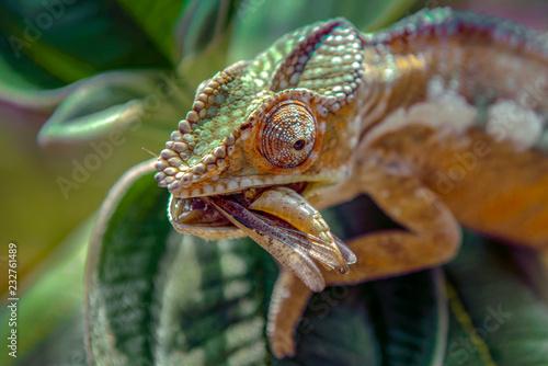 Kameleon poluje na owady w dzikiej przyrodzie Madagaskaru