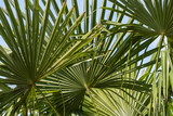Detail of green palm leaves. - 232767871