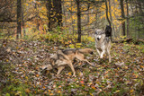 Grey Wolves (Canis lupus) Run Through the Autumn Woods