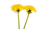 dandelion flower isolated - 232804665