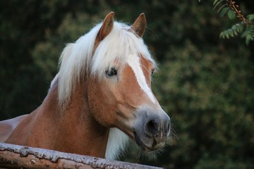 beautiful haflinger head portrait on the paddock in the evening