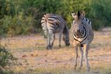 Zebras im Busch am Chobe River, Botswana © Manok