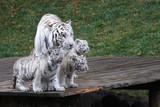 Weißer Tiger mit 3 Jungen