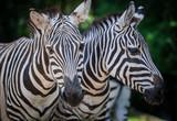 portrait of zebra © Alexander