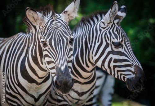 Fridge magnet portrait of zebra