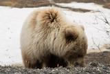 Bear in Denali National Park Alaska - 232836481