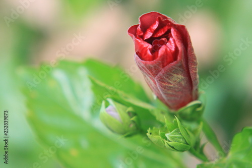 red hibiscus on green background - 232839873
