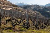 Spring in Switzerland. Vineyard and mountains. - 232841657