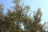 Olive tree in Aegen sea coast  - 232853434