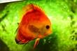 Leinwandbild Motiv Freshwater aquarium fish