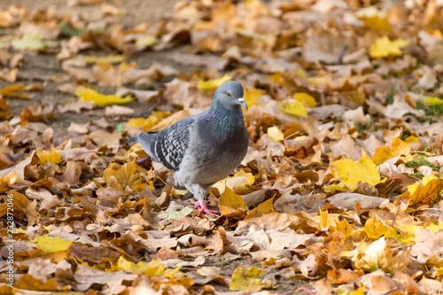Gołąb chodzący po liściach podczas jesieni