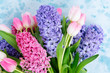 Hyacinth blue and pink fresh flowers on blue background with copy space