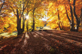 Sun rays through autumn trees. Natural autumn landscape in the forest. Autumn forest and sun as a background. Nature at the autumn time - 232876685