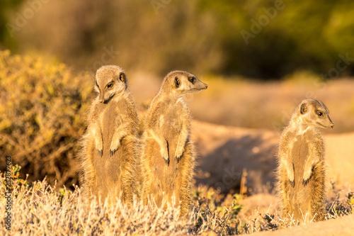 Fridge magnet Meerkats in the morning