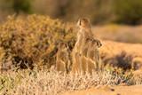 Meerkats in the morning - 232878041